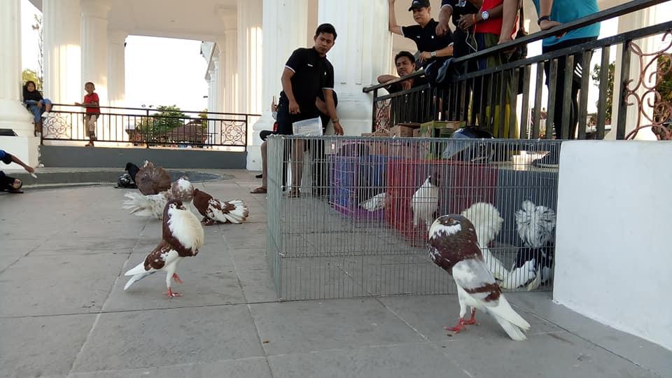 Download 77 Foto Gambar Burung Merpati Termahal  Terbaik Free