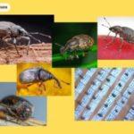 Solusi Mengatasi Kumbang Gelap Di Peternakan
